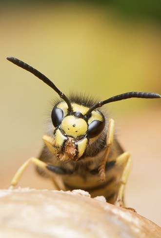 yellowjacket-bee-removal