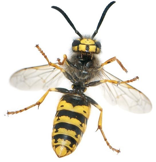 yellowjacket removal services