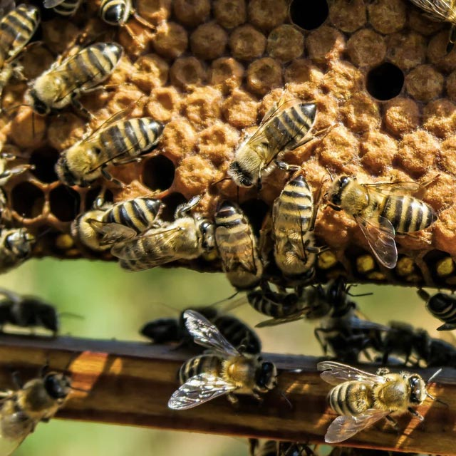 sebastian bee removal