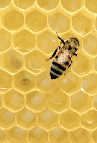 honey-bee-control